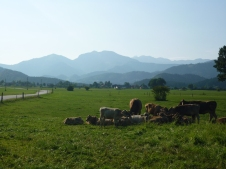 Cows and the mountains I smashed in background