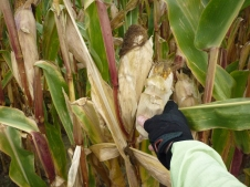 Picking dinner - GROSSS CORN!!! no wonder they left it