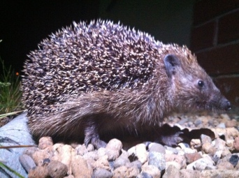 Look what crawled past my tent last night - A lil hedgehog