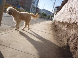 Another Cusco dog roaming the streets