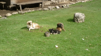 Some of the pets along Salkantay Trek