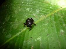 Along the night walk trail - some type of beetle