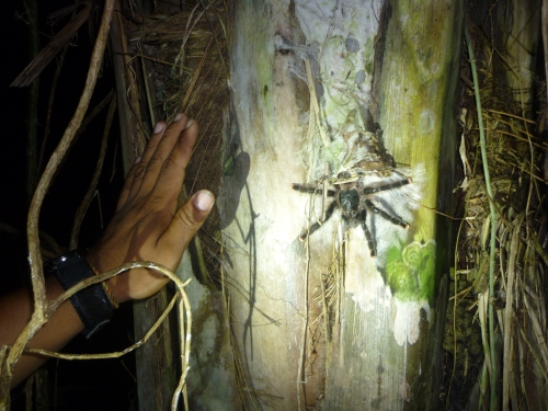 Along the night walk trail - Tarantula - eepp