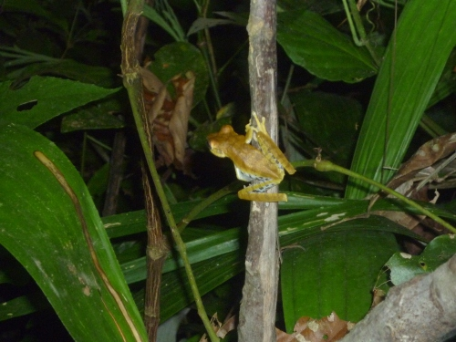 Along the night walk trail - Tree frog