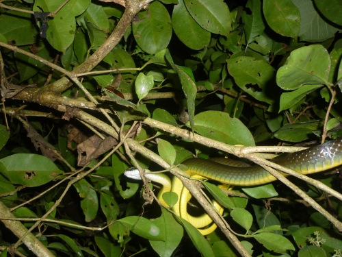 Night walk - Green tree snake - Less than a metre from where I was walking