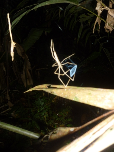 Night walk - The fishing spider - it throws it's web over the prey like a fishing net