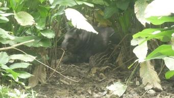 A rare Tapir