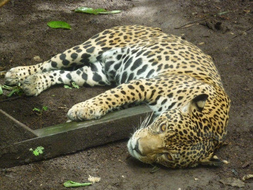 Jaguar at the animal rescue zoo